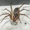 Wolf Spider 9/9/16