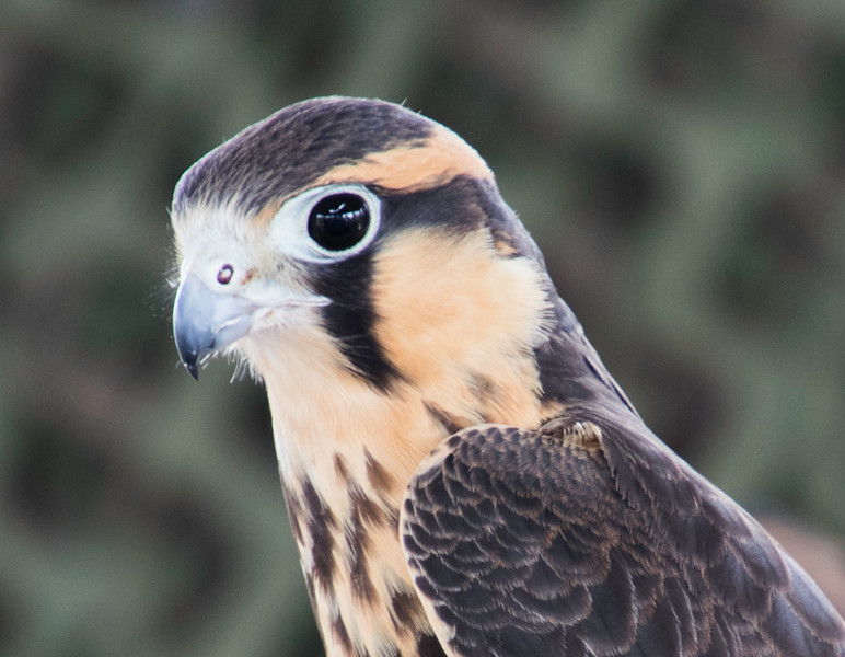 Closeup of head of Aplomado Falcon