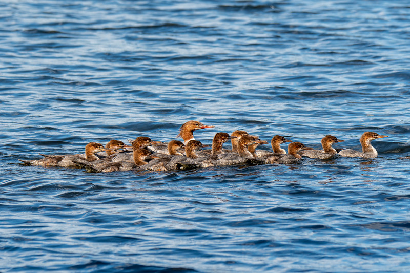 Merganser family