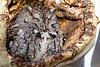 Sleepy Eastern Screech-Owl