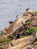 Nesting puffins