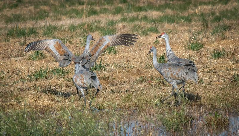 Sandhill Cranes 2065