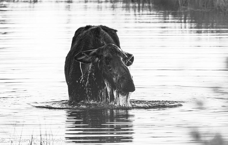 Moose raising head out of the water
