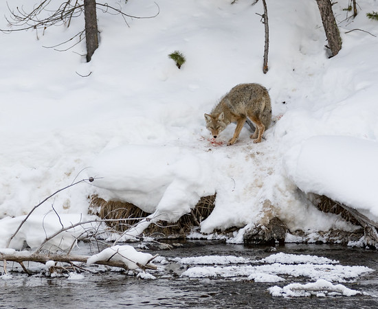 Coyote along the Madison River | Yellowstone National Park | Wyoming