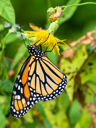 Monarch perched.