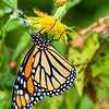 Monarch perched.