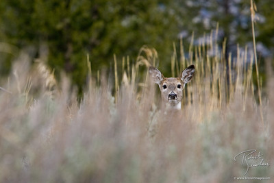 Whitetailed Deer hidden in the tall grasses