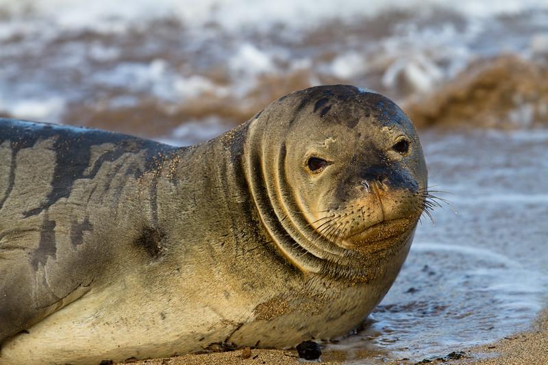 Hawaiian Monk Seal (Endangered)