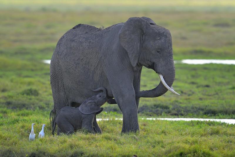 Elephant Mother and Baby, Amboseli National Park, Kenya, East Africa