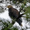 A Drenched Bald Eagle Perched In A Tree After a Rain Storm 4/24/20