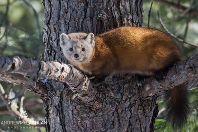 Pine Marten (Martes americana, Algonquin Provincial Park, Ontario, Canada