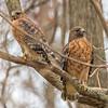 Red-Shouldered Hawk Pair 12/6/16