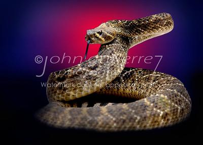 rattlesnake-11