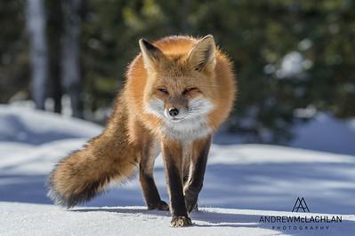 Red Fox (Vulpes vulpes), Algonquin Provincial Park, Ontario, Canada