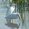 172 - Snowy Egrets, Cherry Creek SP