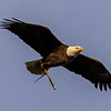 Bald Eagle with Branch