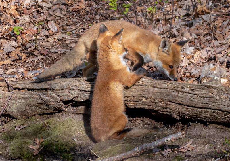Red Fox Kits 5/10/20