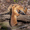 Red Fox Kits 5/10/20