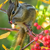 Townsend's Chipmunk Feeds on Mountain Ash Berries