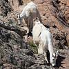 Goats Grazing, Headlight Basin, Cascades, Washington State