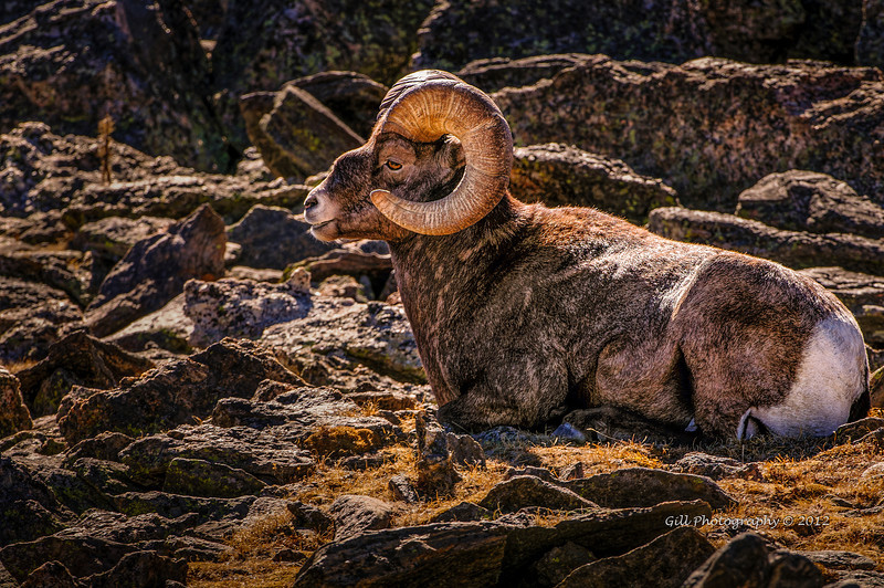 The Rocky Mountain Big Horn Sheep (Ovis canadensis) is the State animal of Colorado and the mascot of CSU.