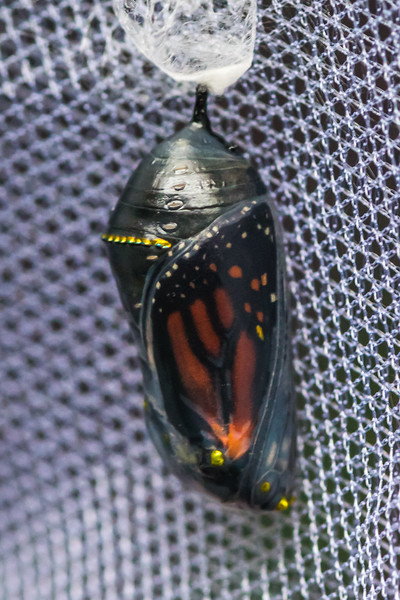 A Monarch Butterfly About to Emerge From It's Chrysalis 10/15/17