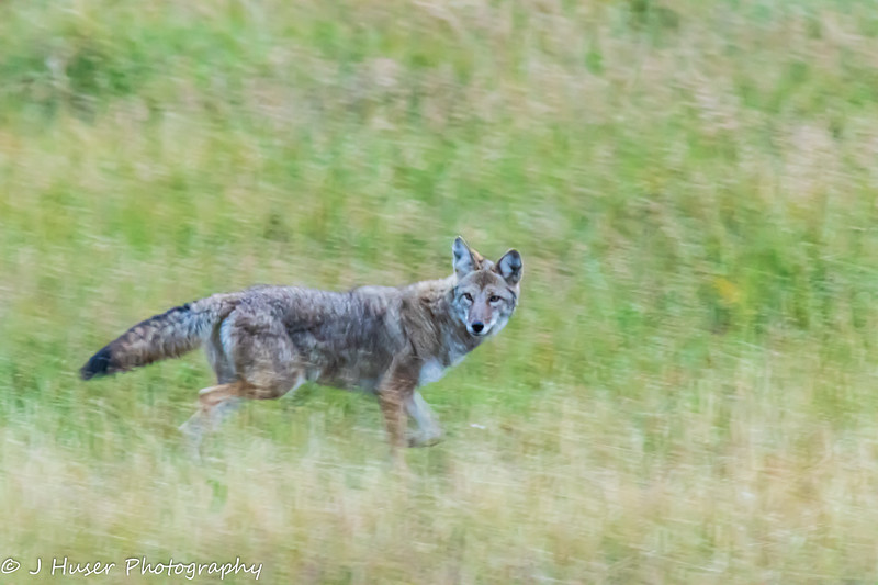 Sideview of coyote running in grass