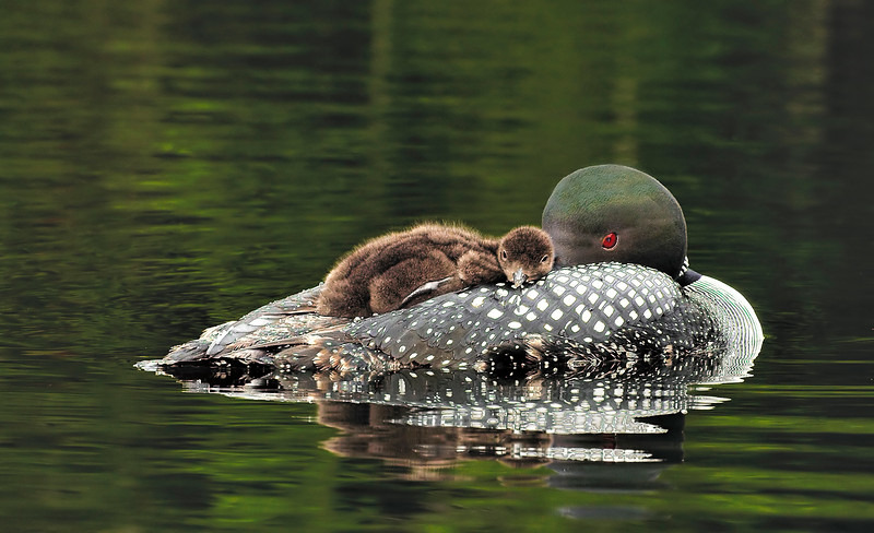 _NW05351 Loon and Chick at Rest ~ Little Lake Sunapee New London NH