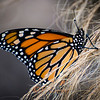 Monarch Newly Emerged