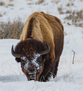 Snow crossed bison