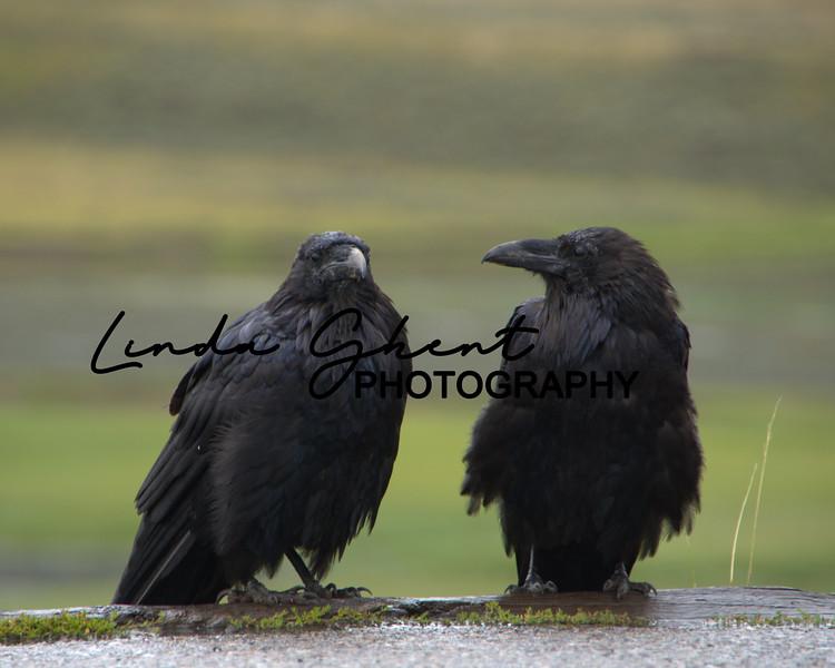 Yellowstone Ravens #2