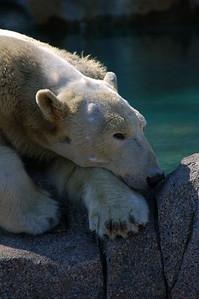 Bored Polar Bear