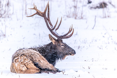 Winter Bull Elk