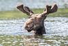 Bull Moose Swimming