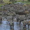 Herd of Zebras At the Watering Hole in the Serengeti, Tanzania, East Africa
