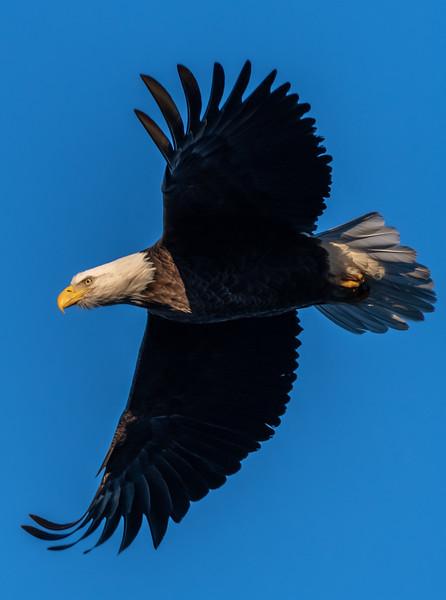 A Bald Eagle Taking Flight at Manasquan Reservoir 1/31/19