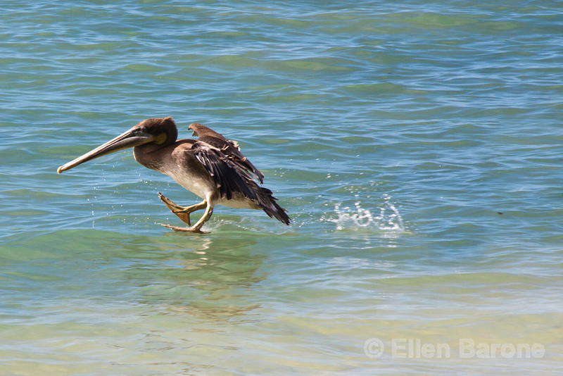 Brown pelican, Post Office Bay, Isla Floreana, Galapagos Islands, Ecuador.