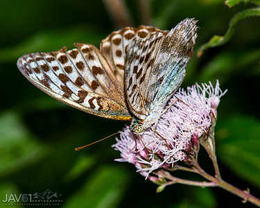 Rare Valezina form of the Silver-washed Fritillary