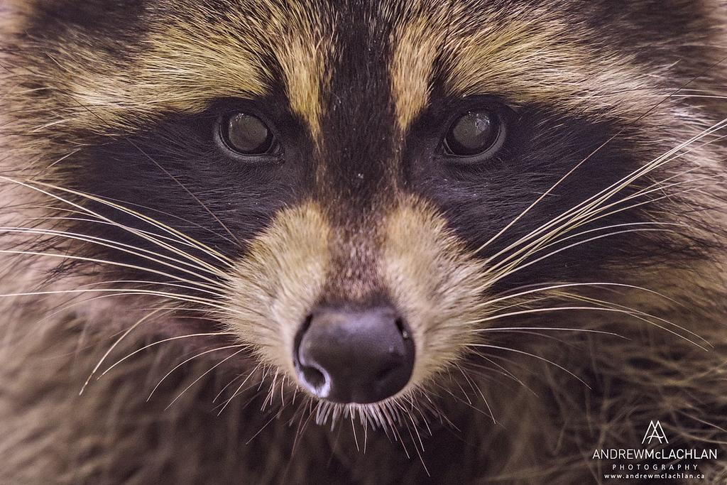 Raccoon (Procyon lotor), Muskoka, Ontario, Canada