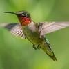 Ruby-Throated Hummingbird 6/25/18