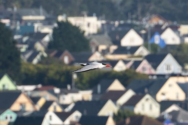 Caspian Tern, San Francisco