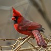Cardinal of Belle Isle