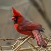 Cardinal of Belle Isle