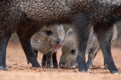 Baby Javelinas (wild pigs)