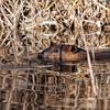 Beaver 3 of 5