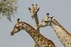 Giraffe trio