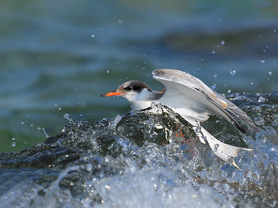 _JFF8769 Common Tern Juvenile in the Surf ~ Plymouth, MA