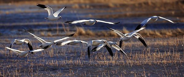""" Morning Fight""  Bosque Del Apache Wildlife Refuge"