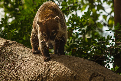 White-nosed Coatis, Tulum