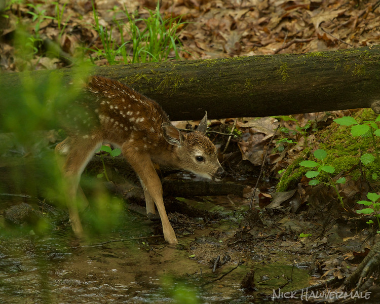Fawn in the Stream